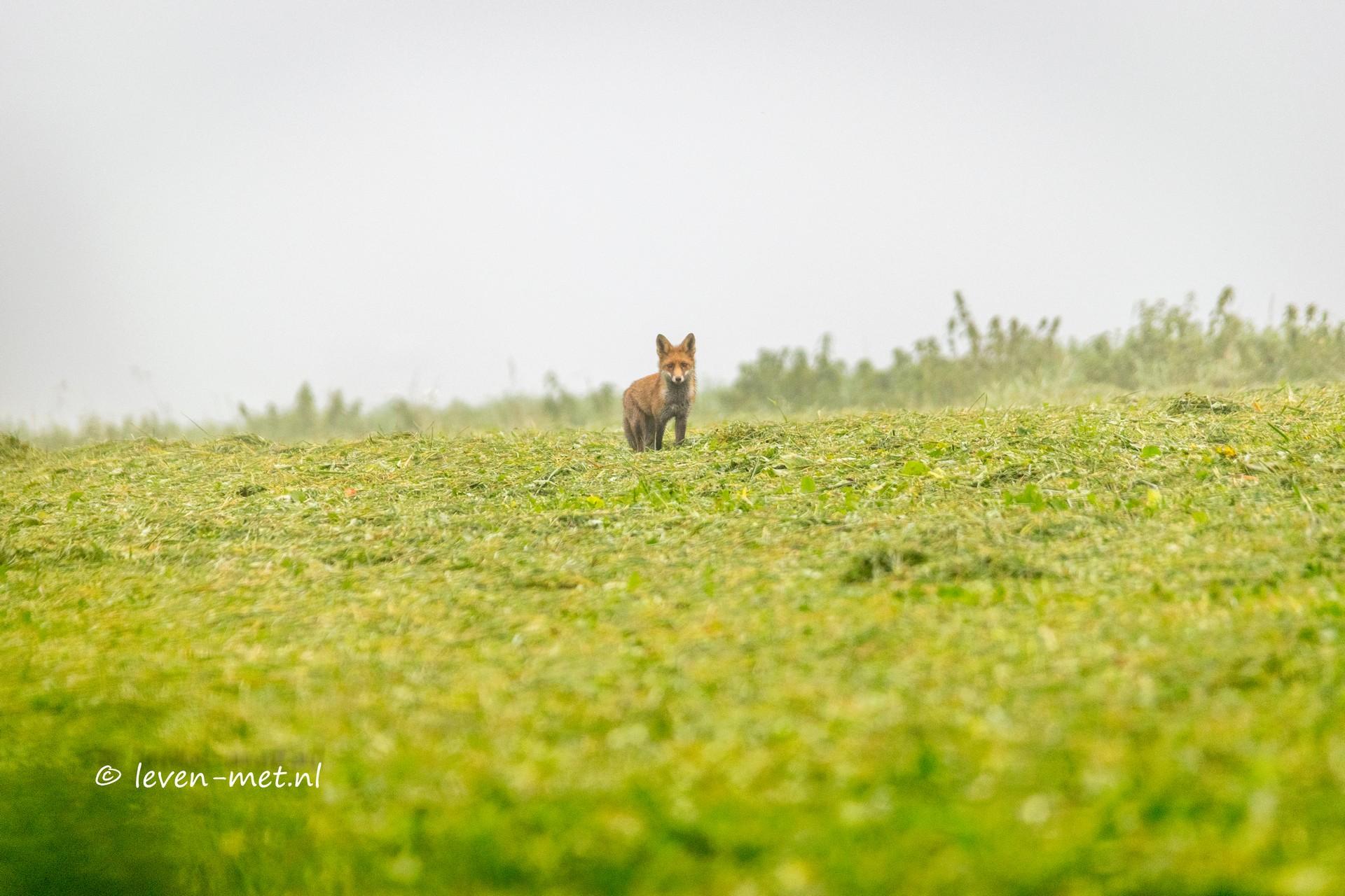 Vos uit de mist en het Oostvaardersbos