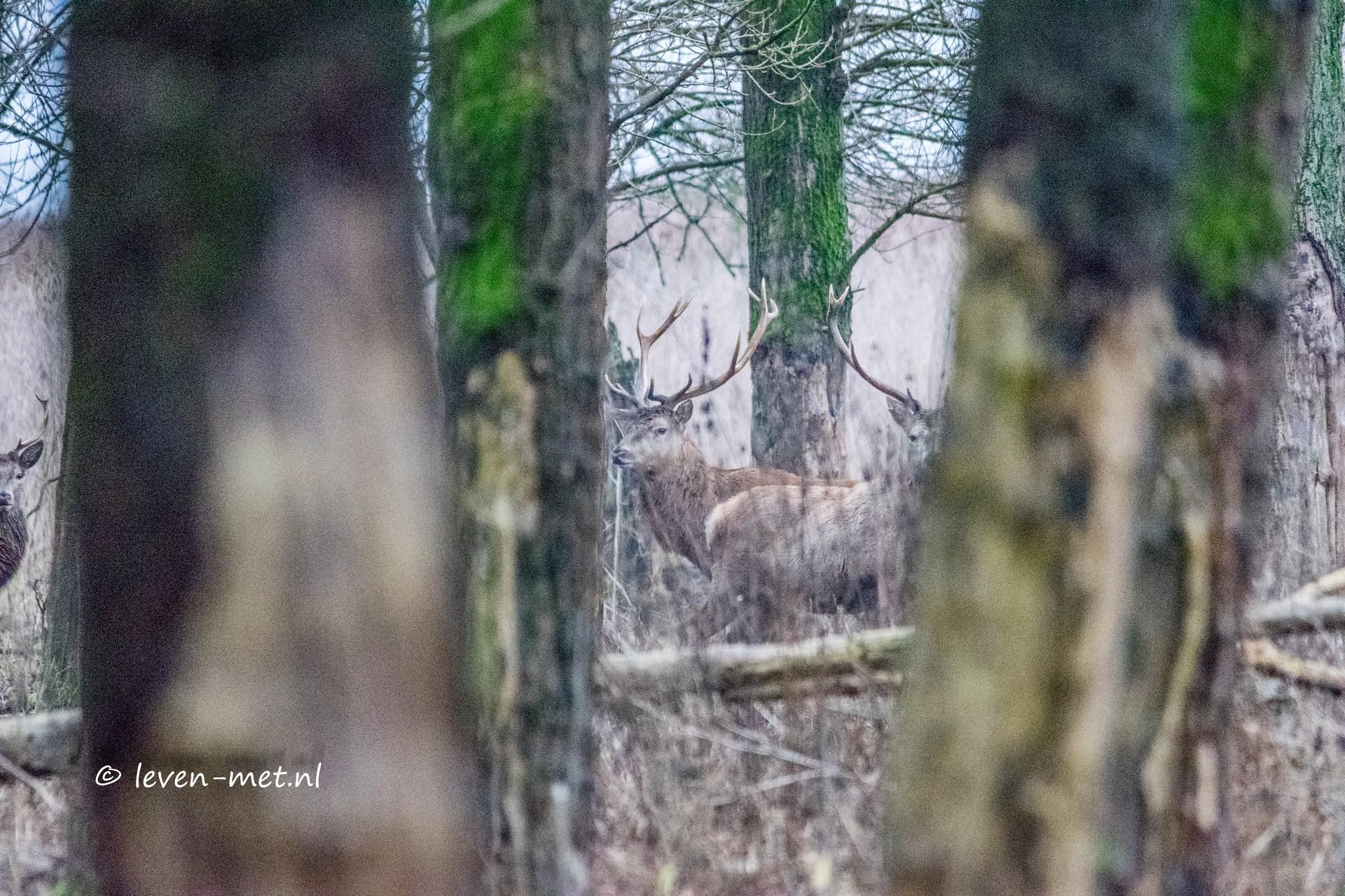Edelherten weer in het Oostvaardersbos