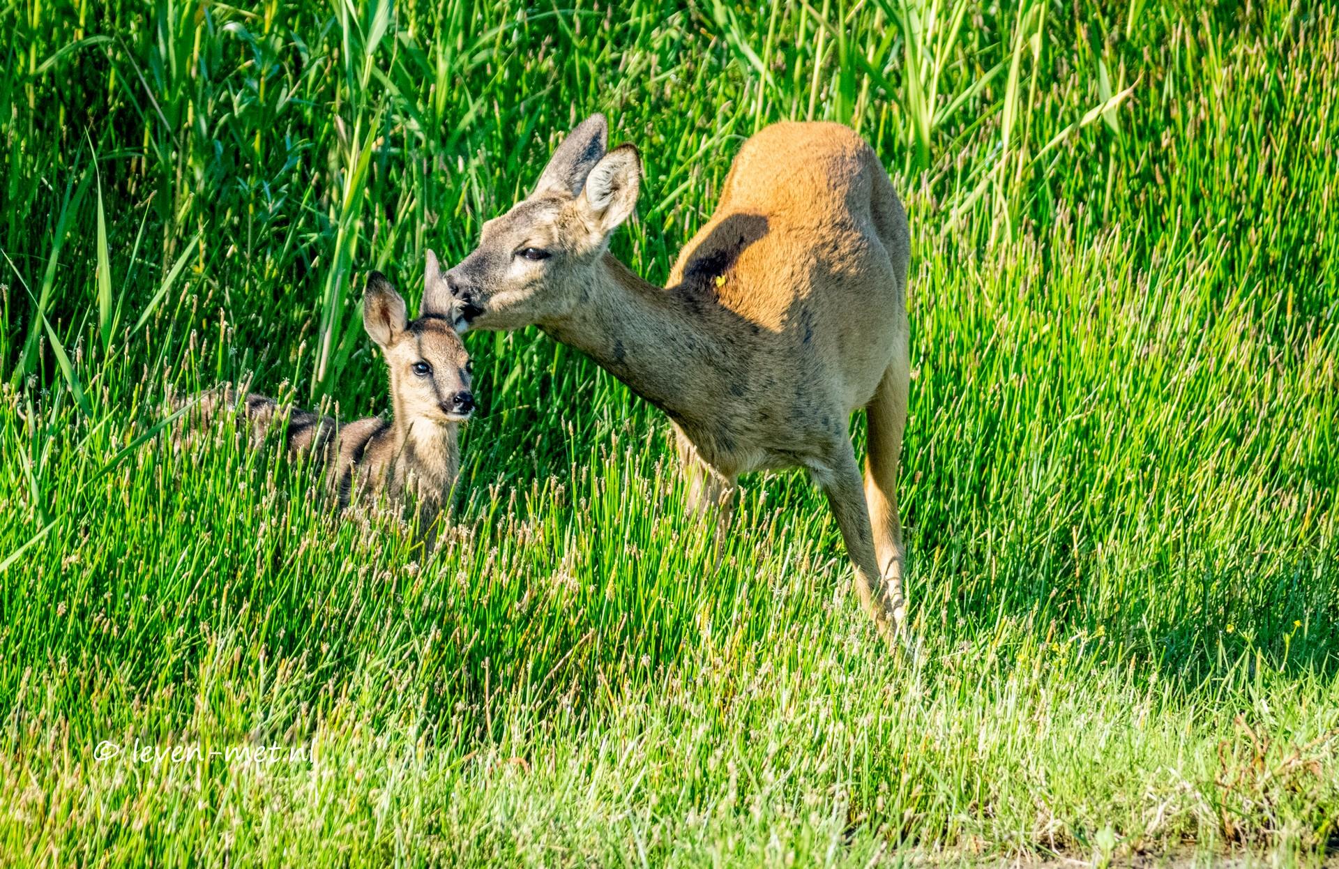 Bambi in het Oostvaardersveld