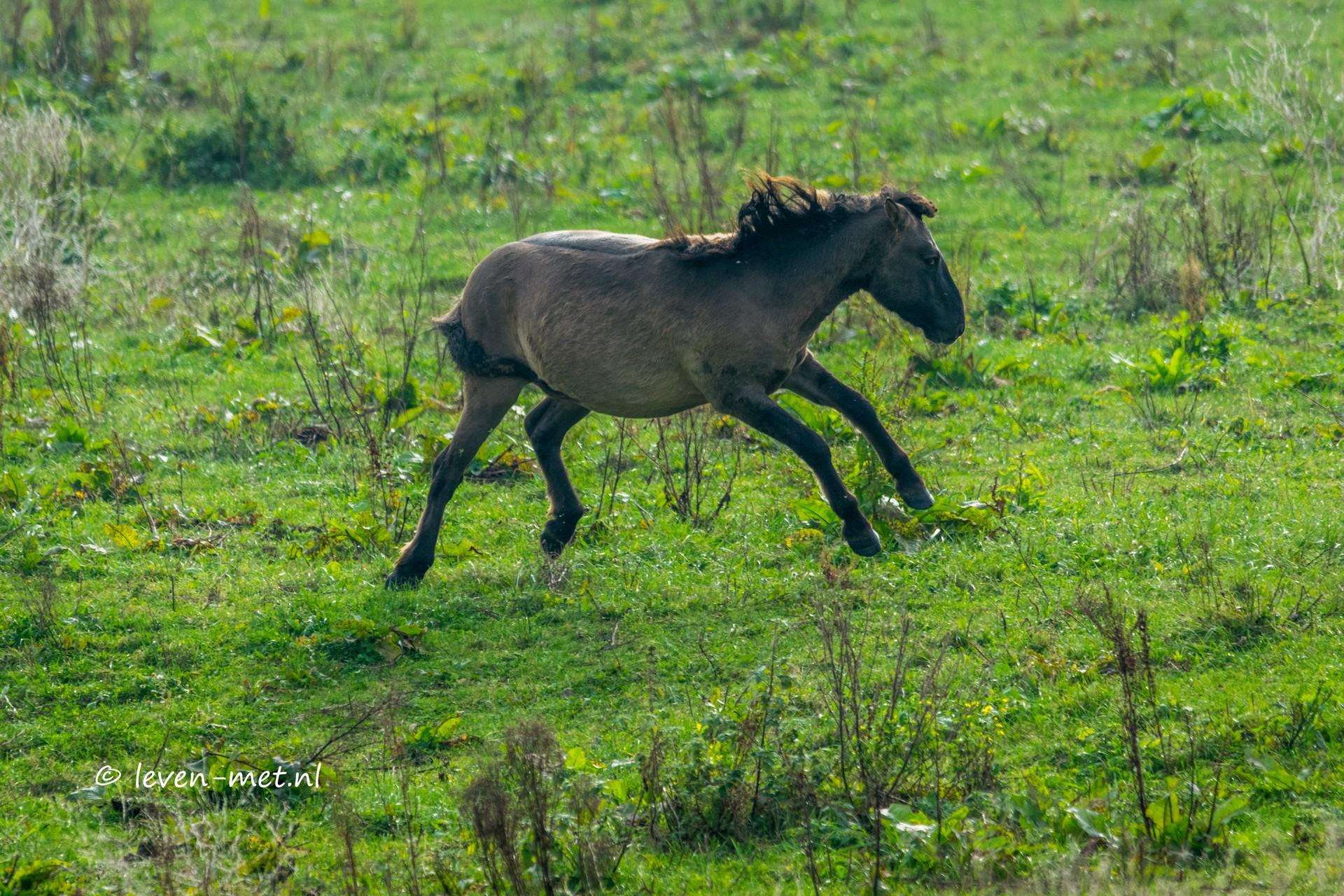 Konikpaarden hebben het op hun heupen