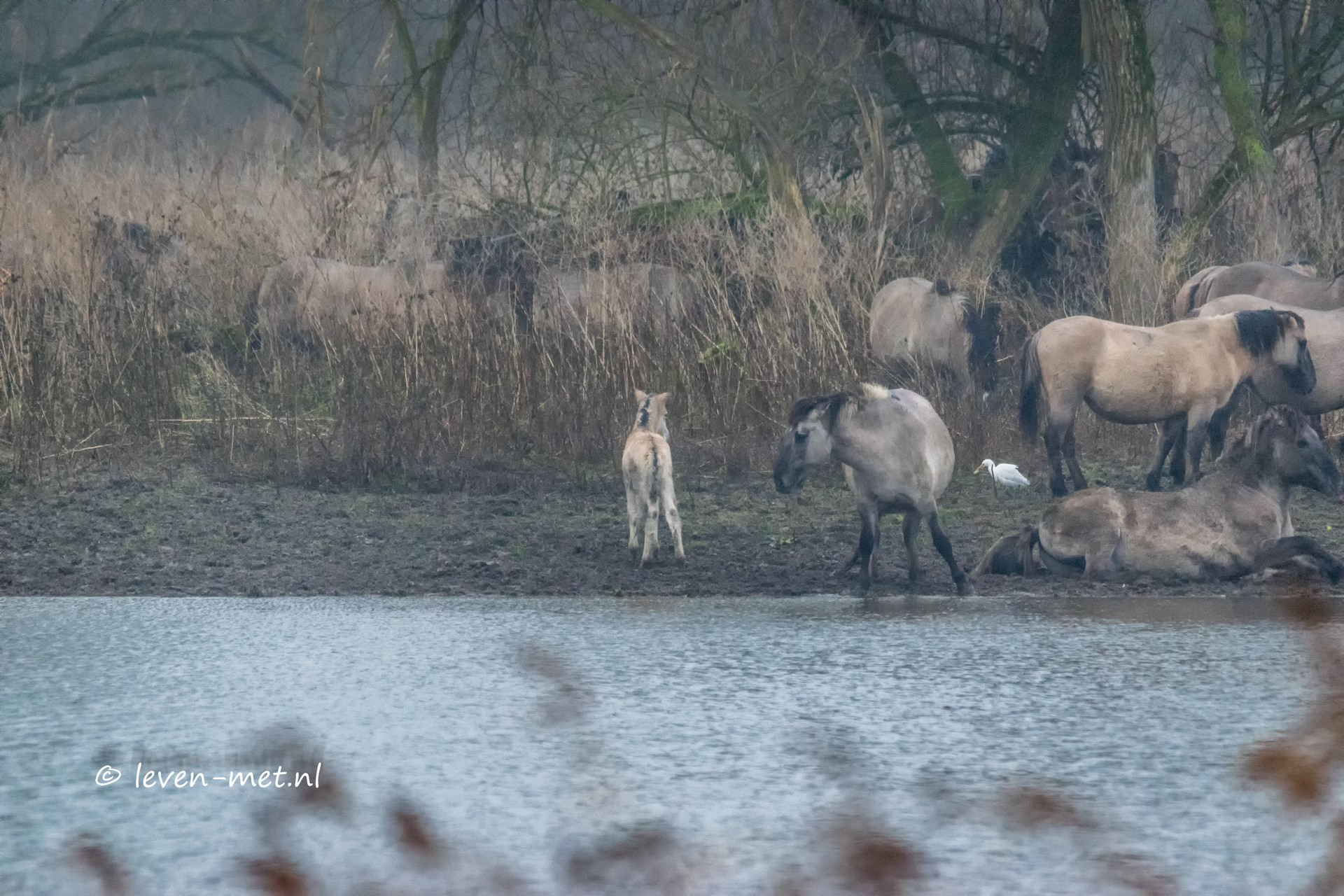 Konik veulen en de koereiger Oostvaardersveld