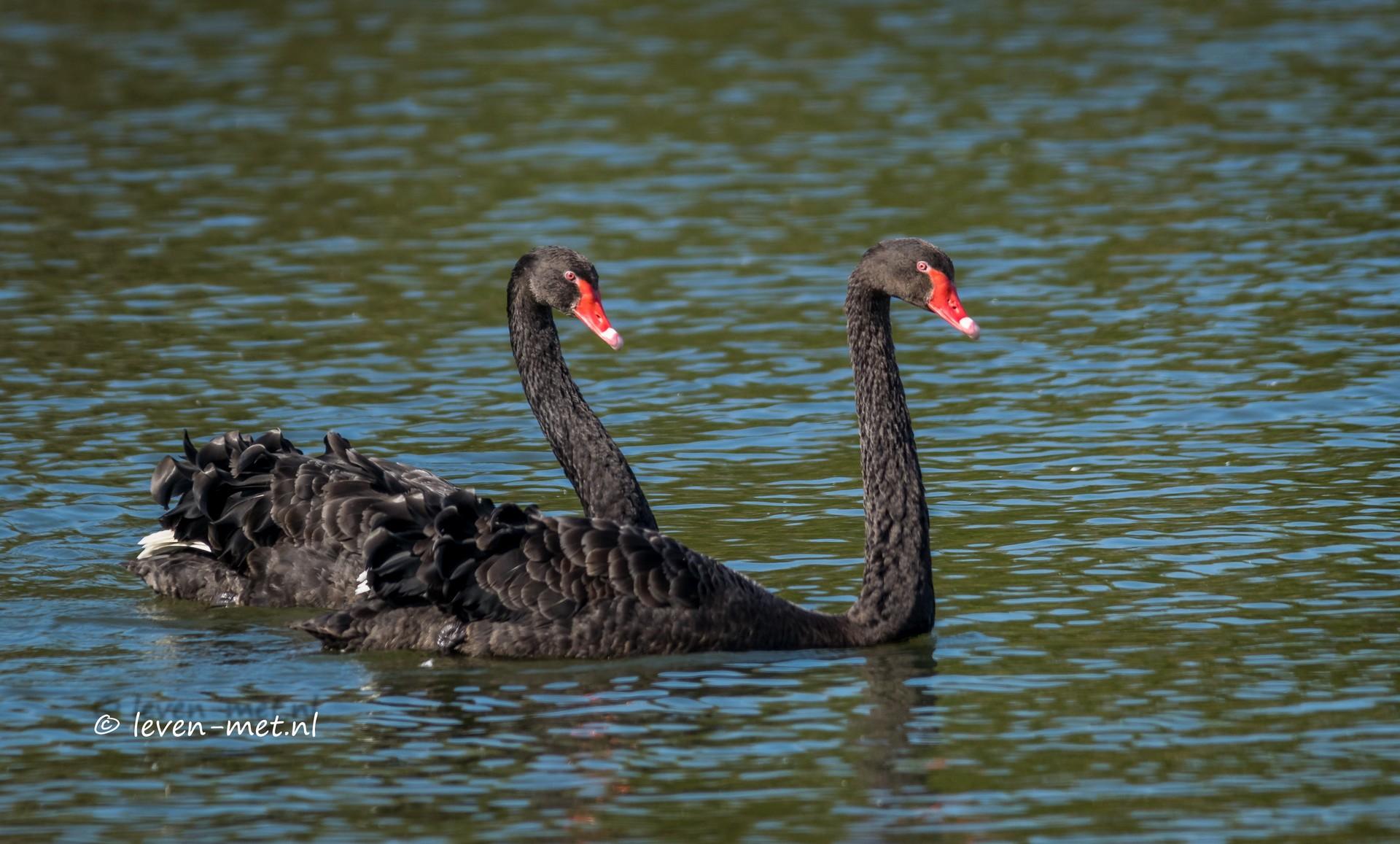 Zwarte zwaan Lepelaarplassen