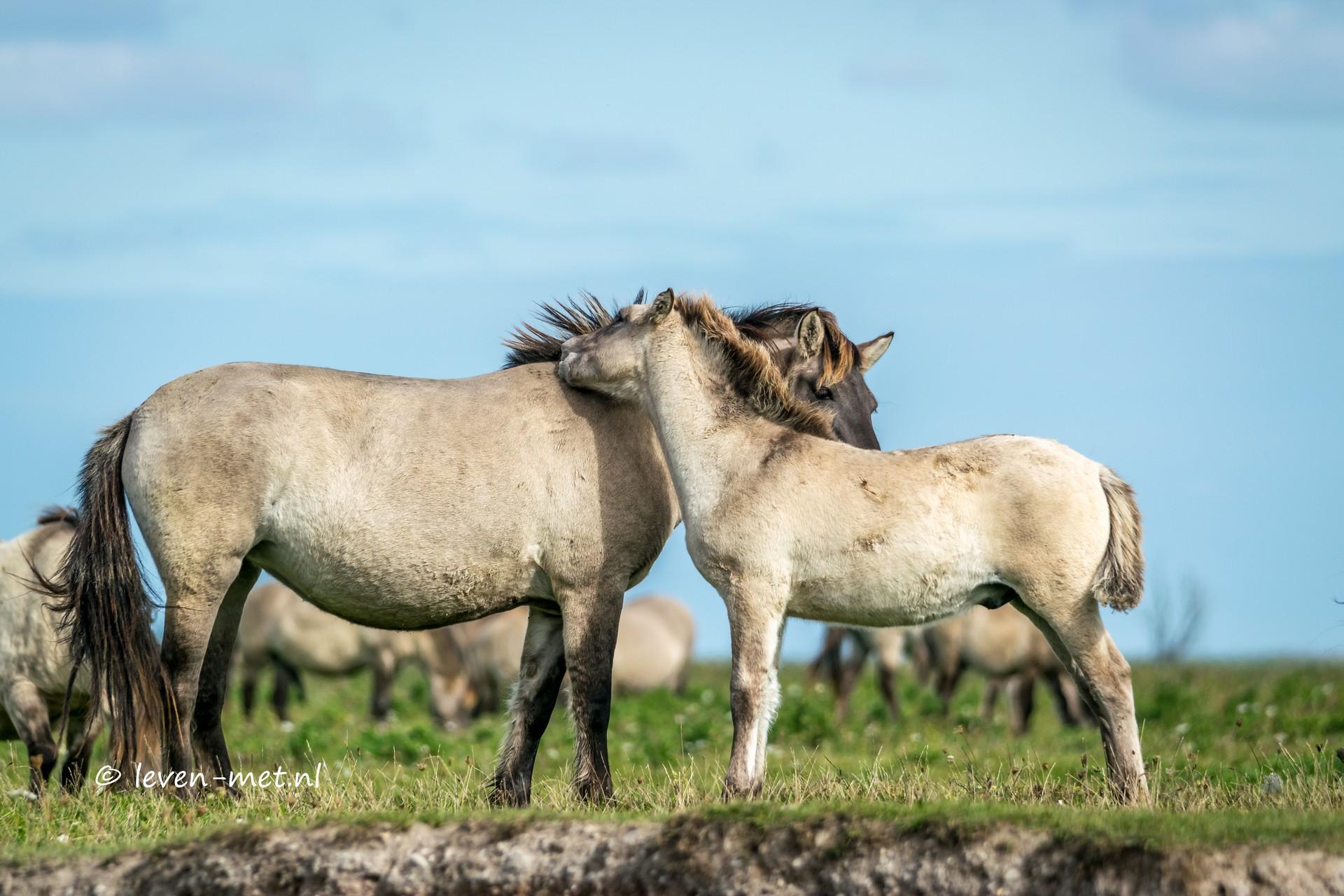 Konikpaarden in de Oostvaardersplassen Almere