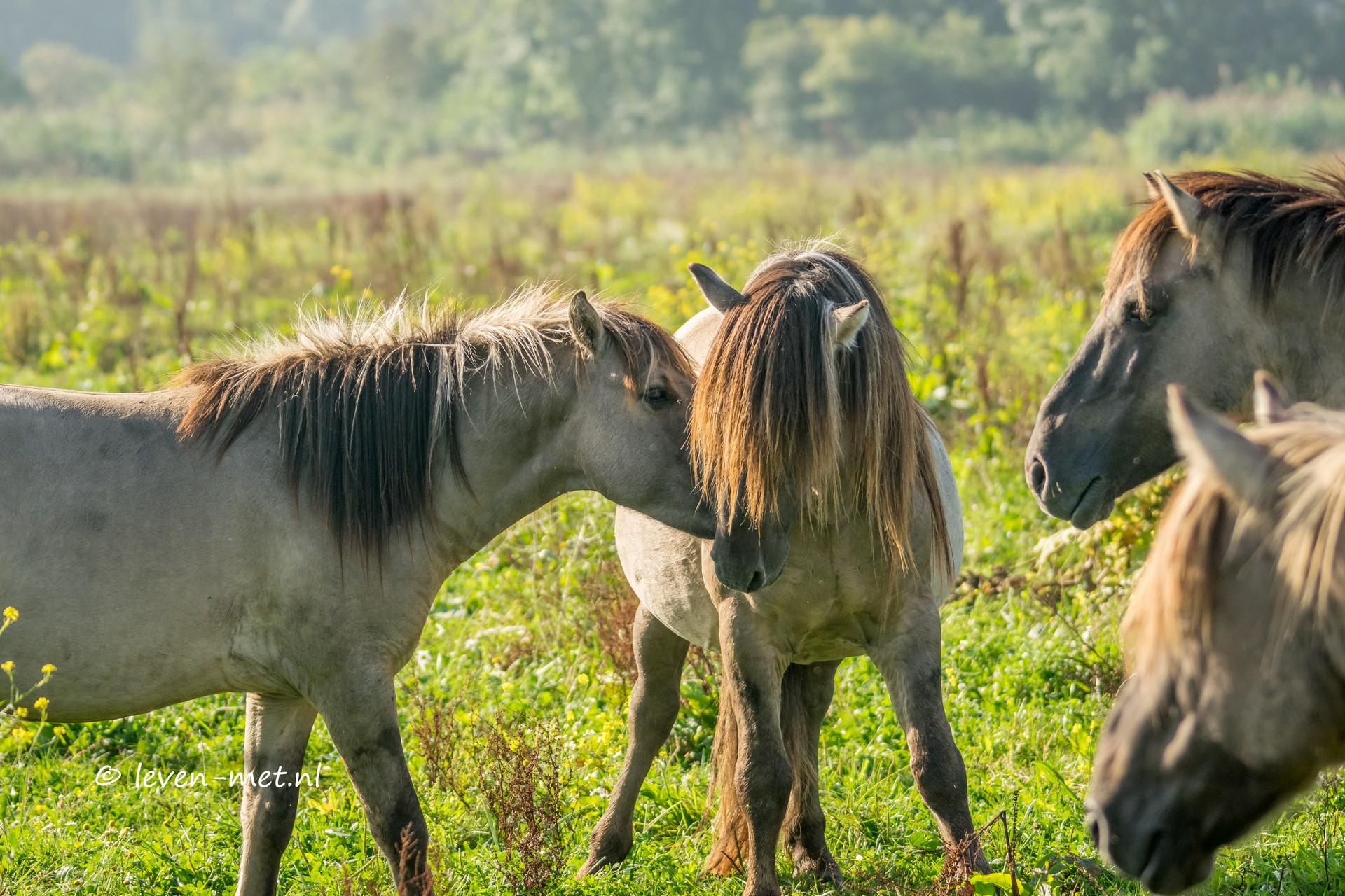 Konikpaarden meeting