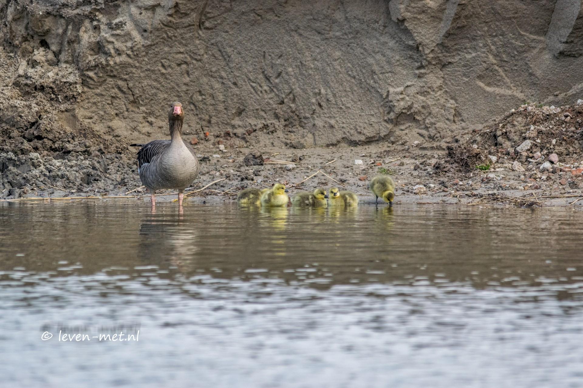 Invasie van de ganzen