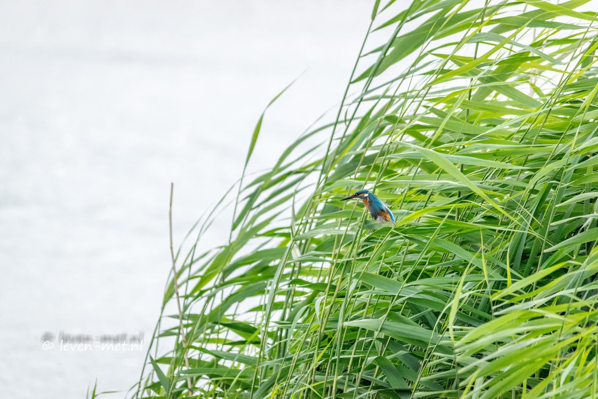 Ijsvogel & kwikstaart bij de poelruiterhut