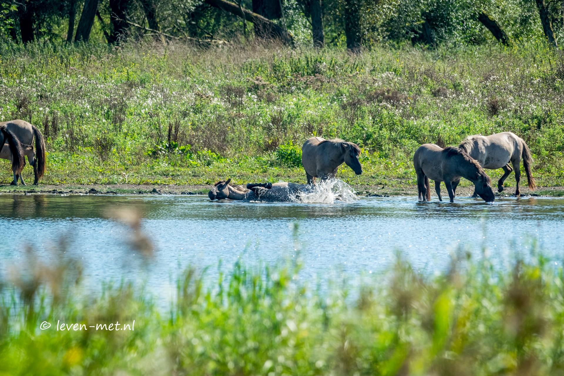 Konikpaarden in bad