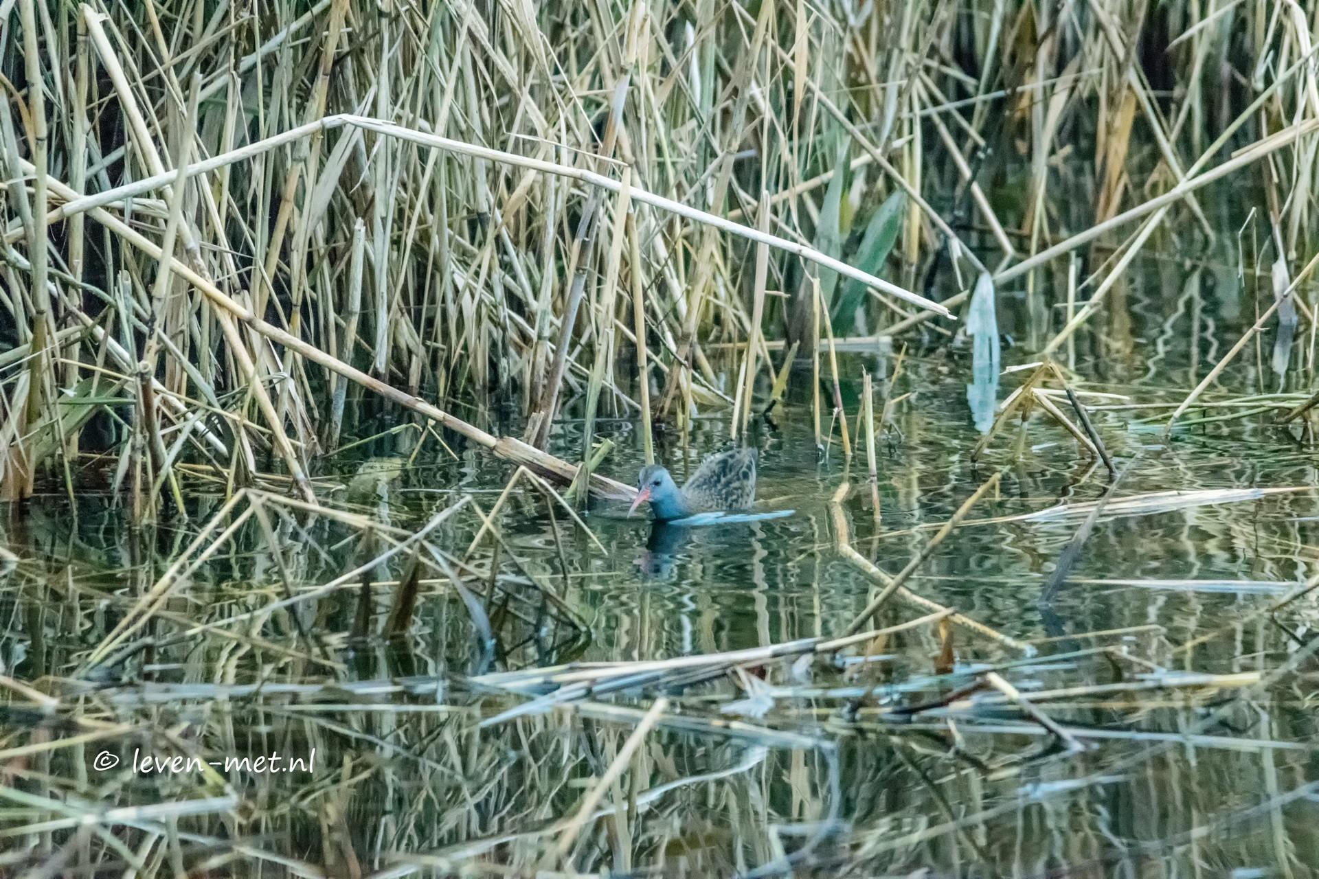 Waterral en wilde zwanen bij het Oostvaardersveld