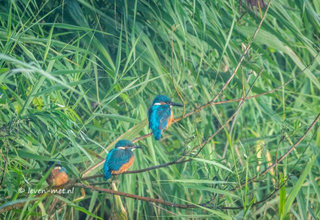 Ijsvogel madness in het Oostvaardersveld