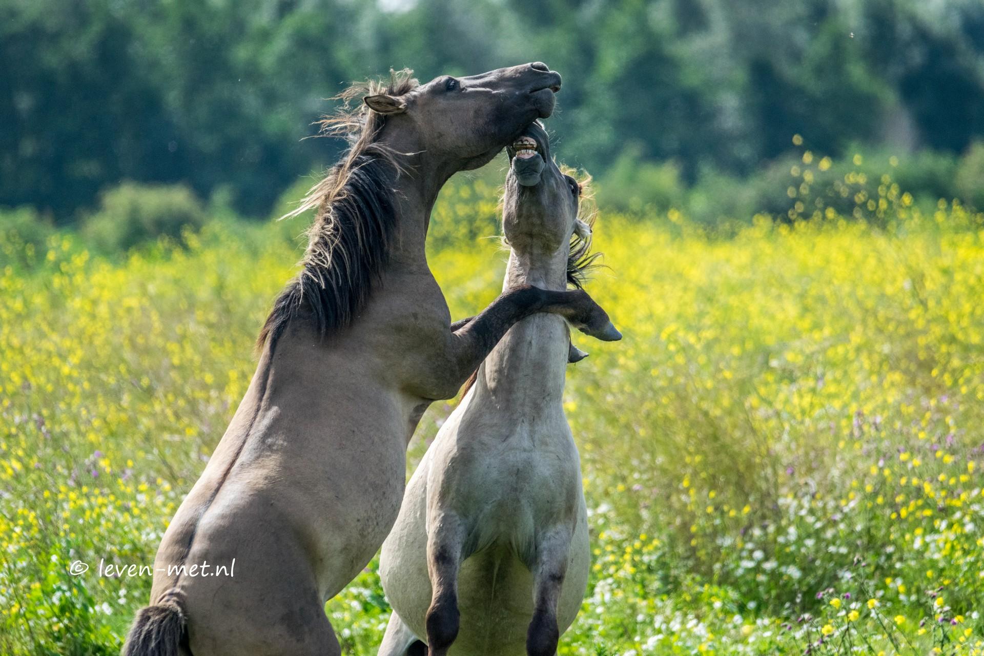 Konikpaarden gedrag in het Oostvaardersveld