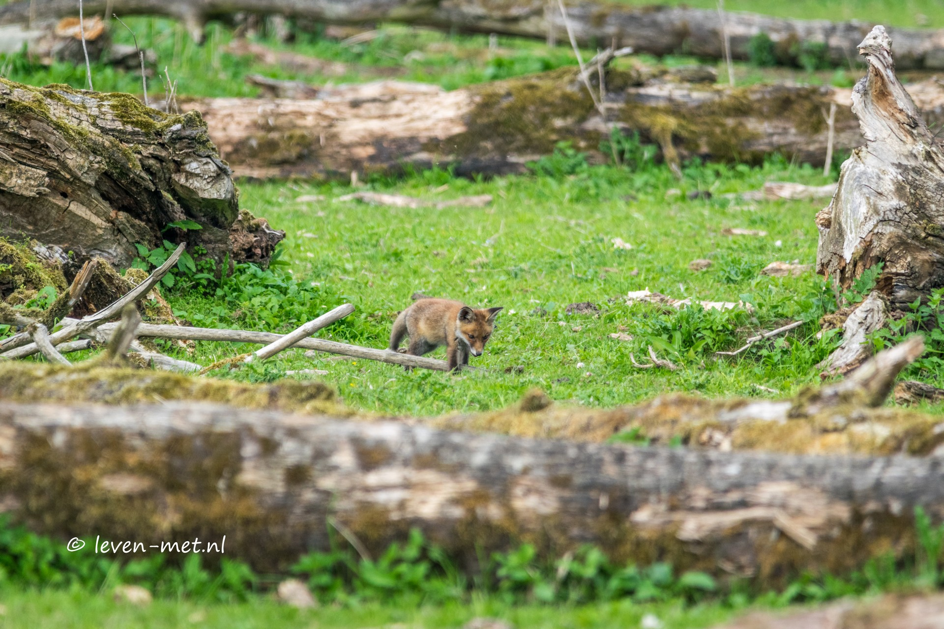 Oostvaardersplassen op zoek naar het vosje