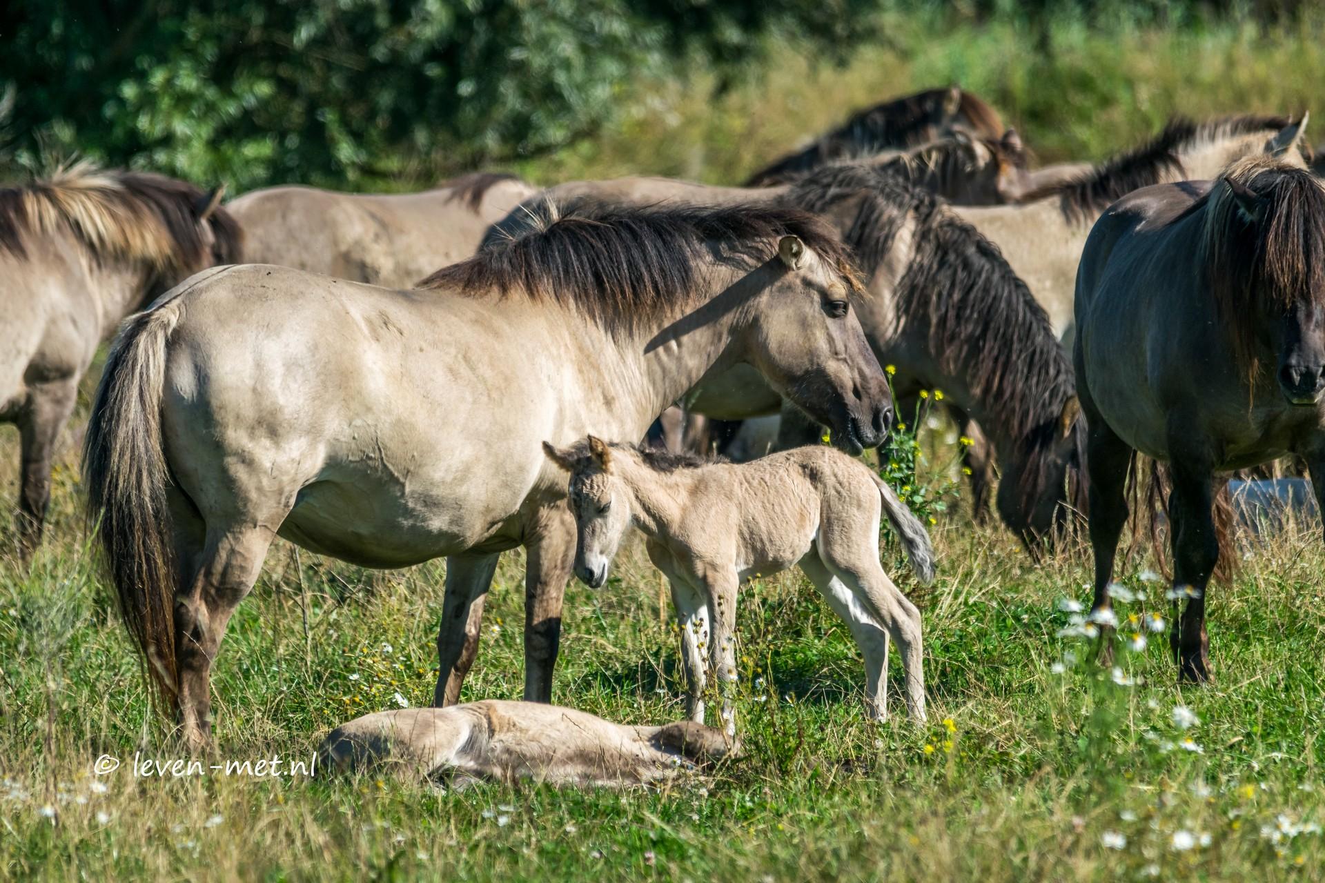 Konikpaarden en veulentje Oostvaardersveld