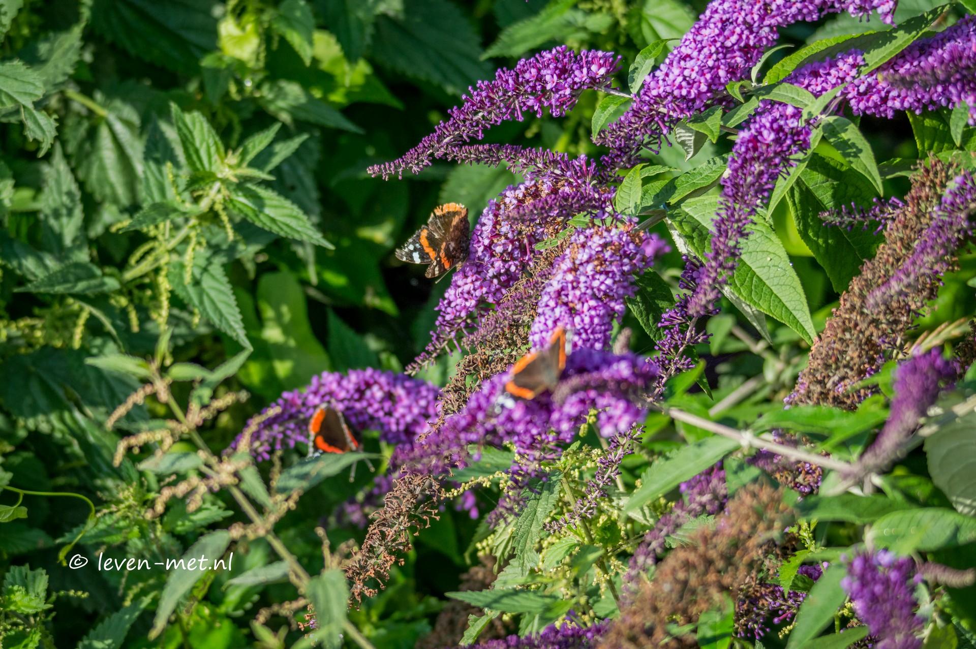 Vlinders & Lepelaar Oostvaardersplassen