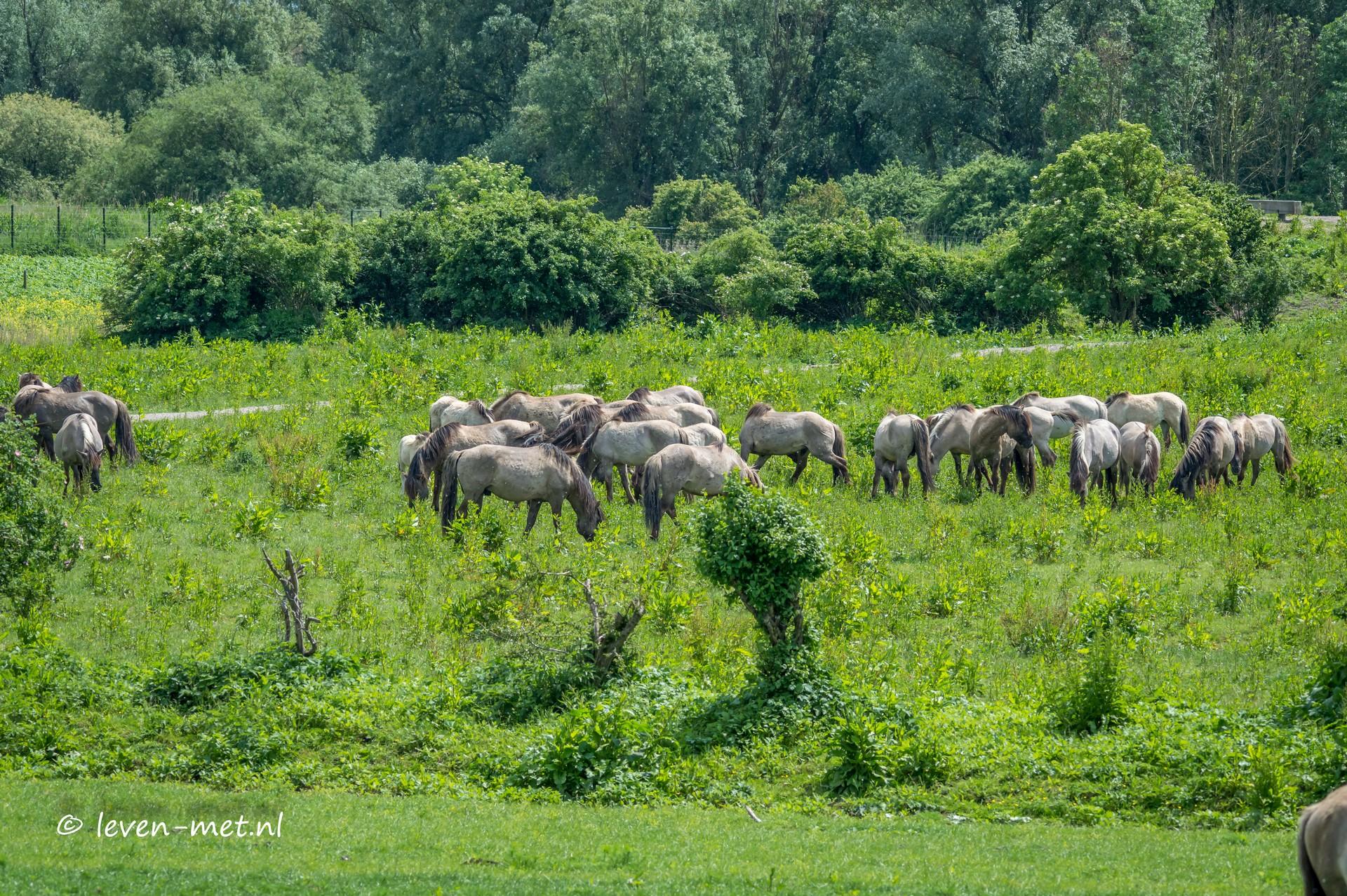 Konikpaarden driehoek oostvaardersplassen