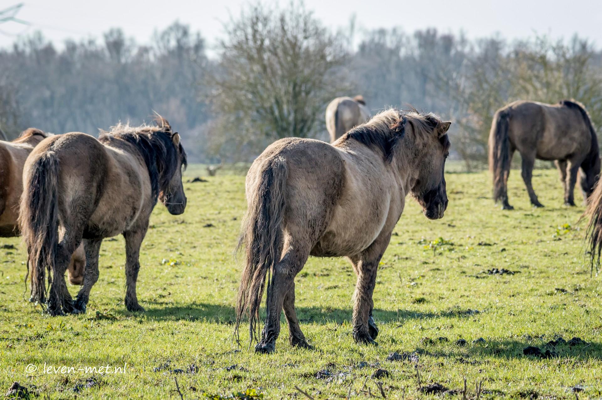 Oostvaardersveld & de konikpaarden
