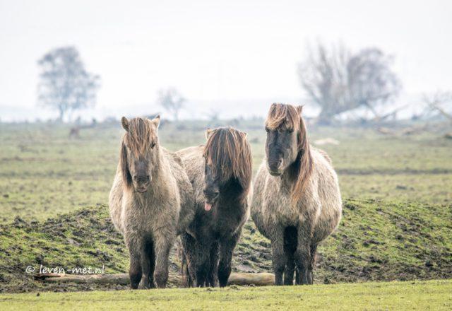 Portret van de konikpaarden