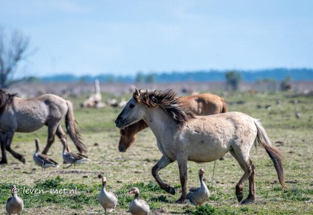 Konikpaarden bij het Fransverapad