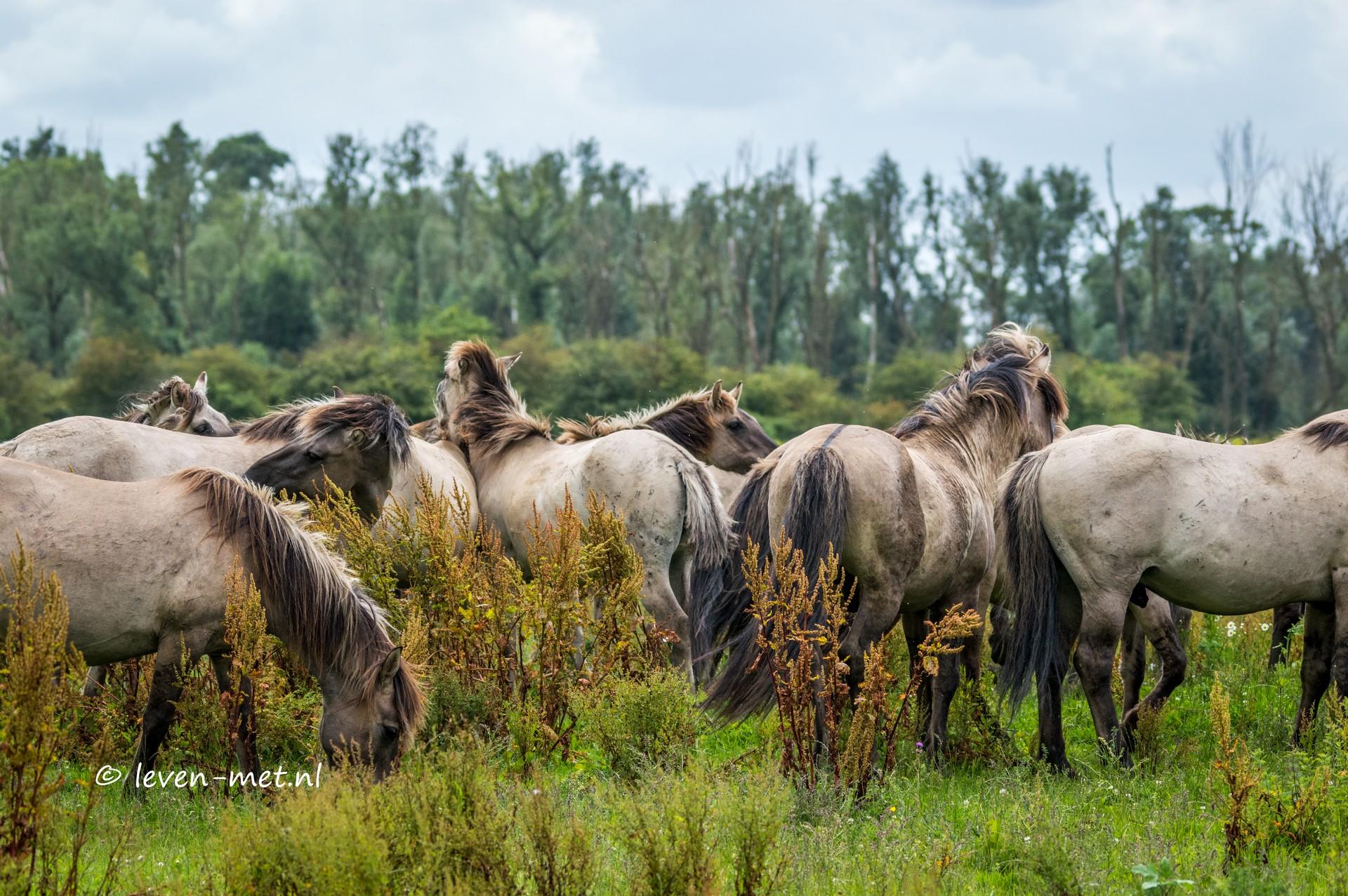 Oostvaardersveld en de Konikpaarden