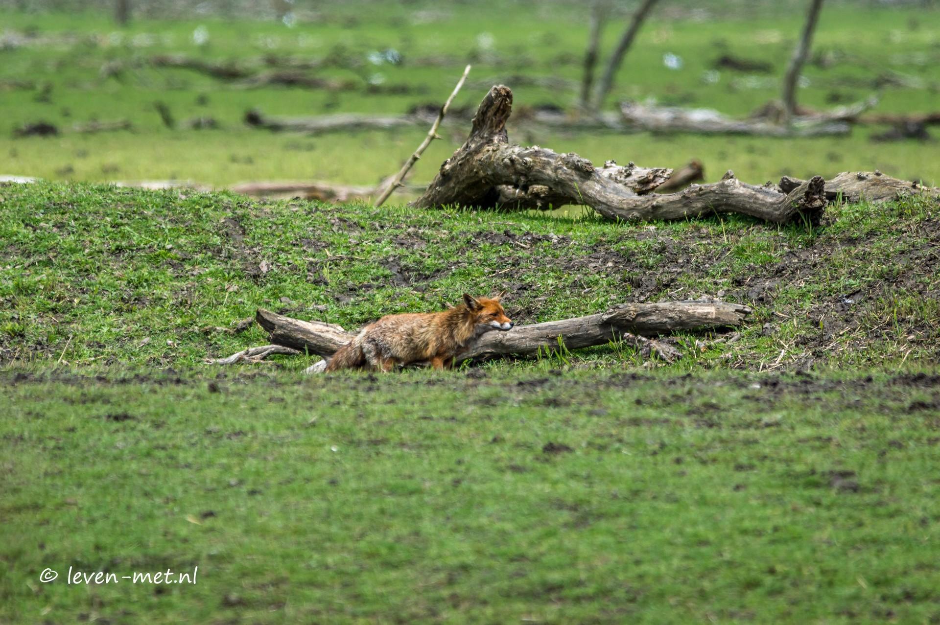 De vos de gans en de oostvaardersplassen