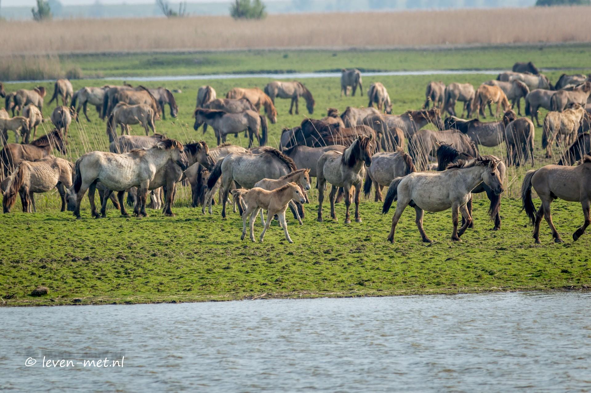 Konikpaarden & Edelherten Oostvaardersplassen